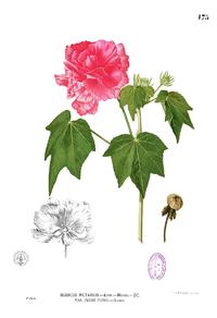 Hibiscus mutabilis Blanco1.175