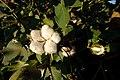 High Plains cotton maturing during the 2010 crop year. (24998888342).jpg
