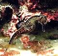 Hippocampus kelloggi en acuario.jpg