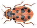 Hippodamia tredecimpunctata (Linnaeus, 1758).png