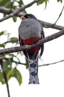 Hispaniolan trogon species of bird
