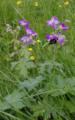 Hoher Vogelsberg Hoherodskopf Geranium pratense Bombus terrestris 2.png