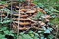 Honiggelber Hallimasch Armillaria mellea 5476.jpg