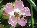 Hoverfly (FG) (5729255934).jpg