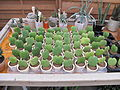 Hoya kerrii in plant nursery.jpg