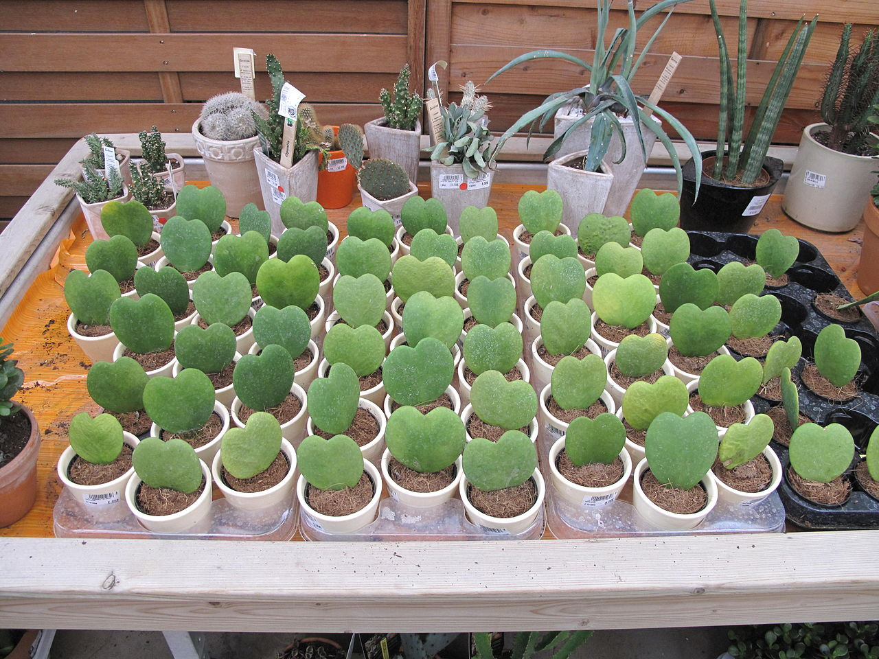File Hoya Kerrii In Plant Nursery Jpg