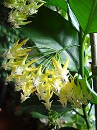Hoya multiflora1a.UME