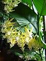 Hoya multiflora1a.UME.JPG