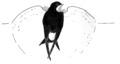 Huiszwaluw Delichon urbica Jos Zwarts 15.tif
