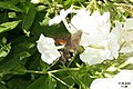 Hummingbird hawk-moth (NH327) (11129253175).jpg
