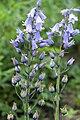 Hyacinthoides hispanica pm.jpg