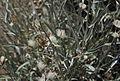 Hyalis argentea fruits.jpg