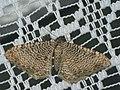 Hydria undulata - Scallop shell - Волнистая пяденица светлая (40909486222).jpg