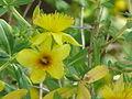 Hypericum kalmianum1.jpg