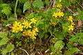 Hypericum kamtschaticum var. senanense 14.jpg