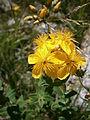 Hypericum richeri 002.jpg