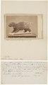 Hystrix mülleri - 1700-1880 - Print - Iconographia Zoologica - Special Collections University of Amsterdam - UBA01 IZ20600029.tif