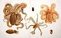 I Cefalopodi viventi nel Golfo di Napoli (sistematica) (6105706063).jpg