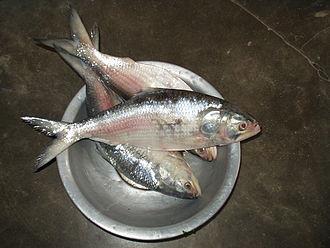 Fauna of Bangladesh - Ilish Tenualosa ilisha, the National fish of Bangladesh