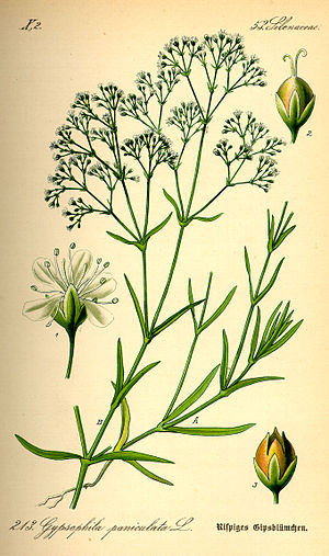 Gypsophila paniculata - Illustration by Otto Wilhelm Thomé