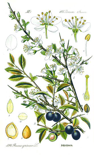 Prunus spinosa - Sloe flower, fruit, seed and leaves illustrated by Otto Wilhelm Thomé (1885)