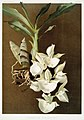 Illustration from Reichenbachia Orchids by Frederick Sander, digitally enhanced by rawpixel-com 090.jpg
