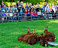 Im Wildpark Bad Mergentheim genießen auch die Nutztiere großes Interesse beim begeisterten Publikum. 02.jpg