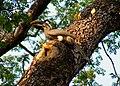 Indian Grey Hornbill Ocyceros birostris by Dr. Raju Kasambe (1).jpg
