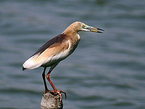 Indian pond heron - Breeding plumage in Kolkata, India