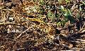 Indian Python (Python molurus) (20655407555).jpg