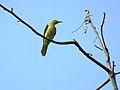 Indian golden oriole IMG 9721.jpg
