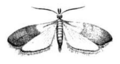 Indianmeal moth drawing.png