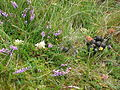 Inishbofin, Galway, Ireland. Flowers and feces.JPG