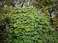 Ipomoea parasitica (Kunth) G. Don (6318130870).jpg