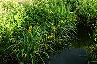 Iris pseudacorus b3.JPG