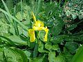 Iris pseudoacorus 01.JPG