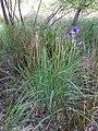 Iris sibirica sl18.jpg