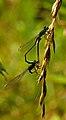 Ischnura elegans 01.JPG