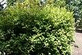 Itea virginica Beppu 2zz.jpg