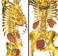 Iv3d-torso.png
