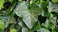 Ivy Leaf (Hedera helix). Immature leaf shape. Upper epidermis.jpg