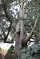 Jałowiec wirginijski pomnik przyrody.jpg