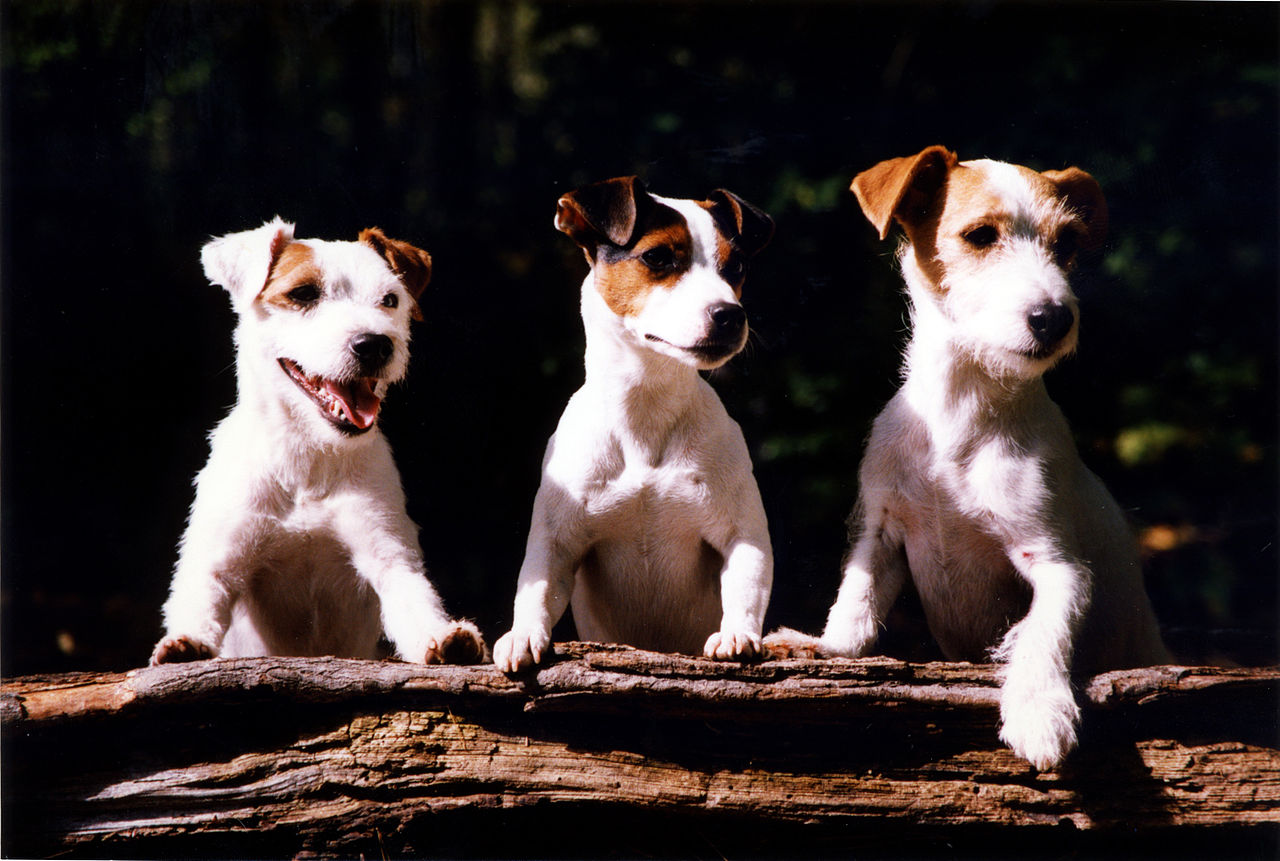 """Three mostly white terriers with different markings stand up over a log"""