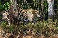 Jaguar (Panthera onca) female on the riverbank ... (48710219916).jpg