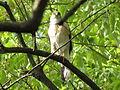 Japanese sparrowhawk Male01.jpg