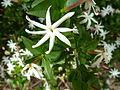 Jasminum angulare, d, Schanskop.jpg