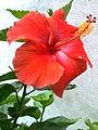 Jaswand flower 2.jpg