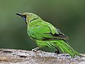 Jerdon's Leafbird, Bengaluru, Vimal Rajyaguru, 02.jpg
