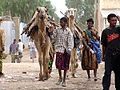 Jijiga camels.jpg