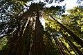 John Muir Redwoods (14700277554).jpg